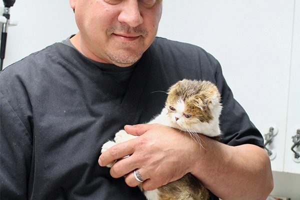 The Dr. Hammond with a cute little white and orange scottish fold cat